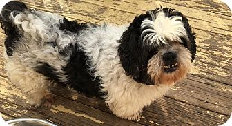 Shih Tzu Dog for adoption in staten Island, New York - Doug
