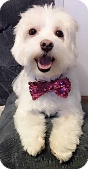 Maltese Dog for adoption in Fairview Heights, Illinois - Louie