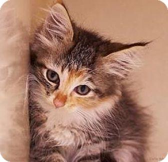 Calico Kitten for adoption in Lincolnton, North Carolina - Alice