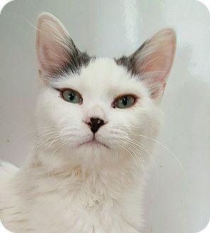 Domestic Mediumhair Kitten for adoption in Mountain Center, California - Rogue