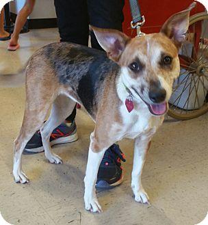 Hound (Unknown Type)/Catahoula Leopard Dog Mix Dog for adoption in Houston, Texas - Katy