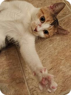 Domestic Shorthair Cat for adoption in Tampa, Florida - Sassafras