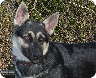 Husky/Shepherd (Unknown Type) Mix Dog for adoption in Elmwood Park, New Jersey - Austin