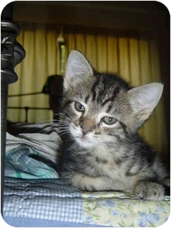 Domestic Shorthair Kitten for adoption in Davis, California - Bonnie