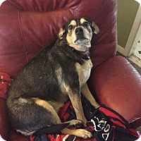 Adopt A Pet :: Shiloh - Astoria, NY