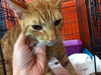 Egyptian Mau Cat for adoption in Cerritos, California - Shalimar