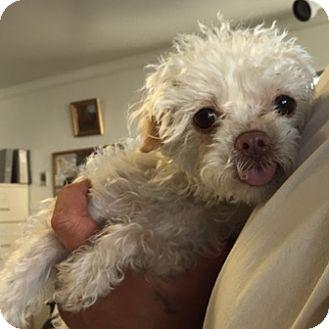 Poodle (Miniature) Mix Dog for adoption in Canoga Park, California - Dori