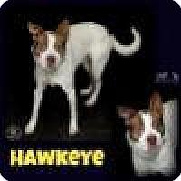Adopt A Pet :: Hawkeye - Sullivan, IN