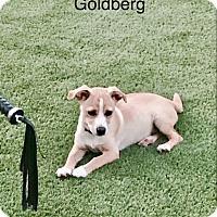 Adopt A Pet :: Goldberg - Gilbert, AZ