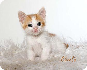 Domestic Shorthair Kitten for adoption in Houston, Texas - Cheeto