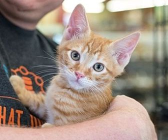Domestic Mediumhair Kitten for adoption in Fremont, California - Fireball