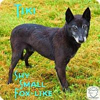 Adopt A Pet :: Tiki - Washburn, MO