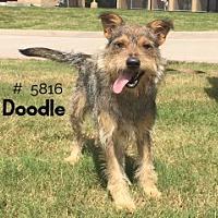Adopt A Pet :: Doodle - Alvin, TX
