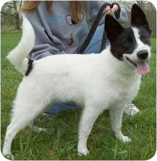 Border Collie/Blue Heeler Mix Puppy for adoption in North Judson, Indiana - Princess