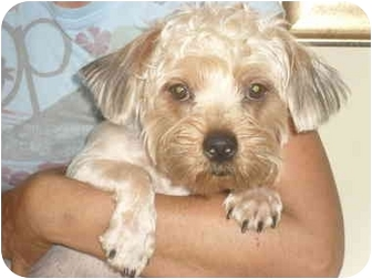 Yorkie, Yorkshire Terrier Mix Dog for adoption in Coral Springs, Florida - Frank