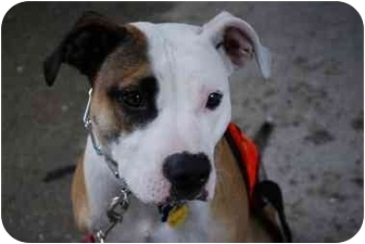 American Pit Bull Terrier Dog for adoption in Long Beach, New York - Sweet Belle