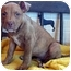 Photo 1 - Pit Bull Terrier Mix Puppy for adoption in Overland Park, Kansas - Peanut