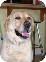 Labrador Retriever Mix Dog for adoption in Torrance, California - O'Reilly