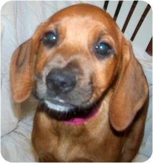 Labrador Retriever/Hound (Unknown Type) Mix Puppy for adoption in Detroit, Michigan - Buttercup