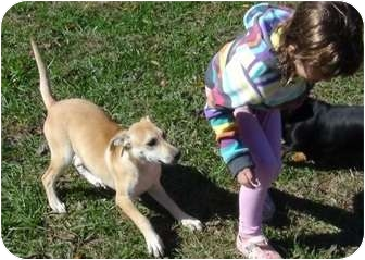 Labrador Retriever Mix Puppy for adoption in Hagerstown, Maryland - Honey...Reduced fee $300