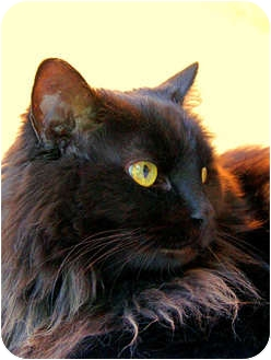 Domestic Longhair Cat for adoption in Victor, New York - Luci