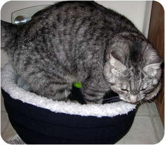 Domestic Shorthair Cat for adoption in Troy, Michigan - Sapphire