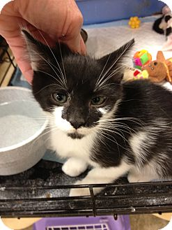 Domestic Shorthair Kitten for adoption in Fort Lauderdale, Florida - Shauna