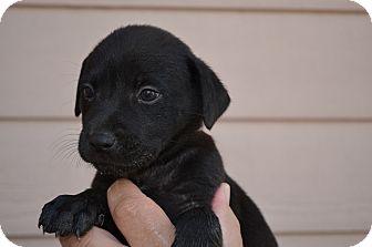 Labrador Retriever/Border Collie Mix Puppy for adoption in Westminster, Colorado - Tasha