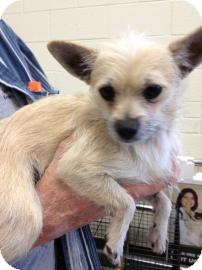 Chihuahua Mix Dog for adoption in Tucson, Arizona - Rango