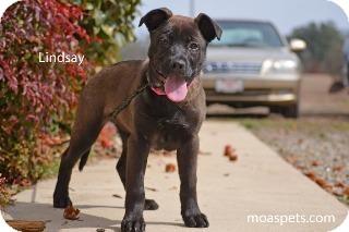 English Bulldog/Labrador Retriever Mix Puppy for adoption in Danielsville, Georgia - Lindsay