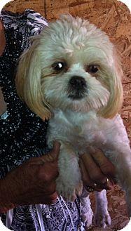 Shih Tzu Mix Dog for adoption in Nuevo, California - Sha Sha