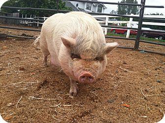 Pig (Potbellied) for adoption in Sac, California - Petunia