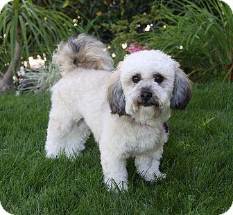 Havanese/Bichon Frise Mix Puppy for adoption in Newport Beach, California - RONNIE