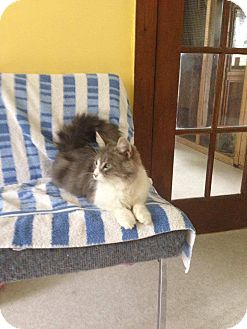 Domestic Longhair Cat for adoption in Lancaster, Massachusetts - Verna Kelly