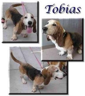 Basset Hound Dog for adoption in Marietta, Georgia - Tobias