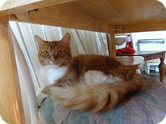 Domestic Longhair Cat for adoption in Sheboygan, Wisconsin - Bootsie