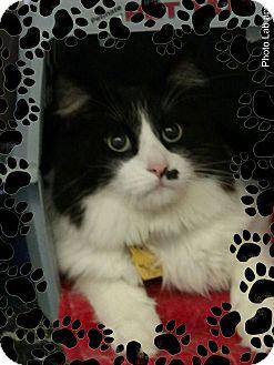 Domestic Longhair Cat for adoption in Pueblo West, Colorado - Oliver
