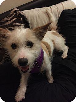 Terrier (Unknown Type, Medium) Mix Dog for adoption in Sagaponack, New York - Sophie