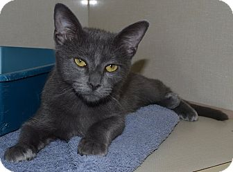 Domestic Shorthair Cat for adoption in Gainesville, Florida - Duncan