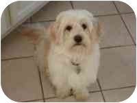 Maltese/Lhasa Apso Mix Dog for adoption in Lewisville, Texas - Gracie