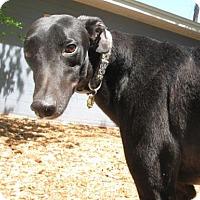 Adopt A Pet :: Gator - Lexington, SC