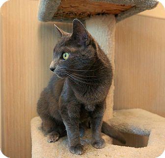 Domestic Shorthair Cat for adoption in Kingston, Washington - Graysea