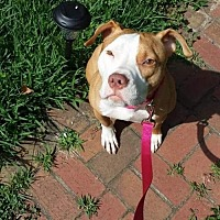 American Pit Bull Terrier Mix Dog for adoption in Fulton, Missouri - Bella - South Carolina