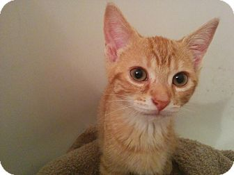 Domestic Shorthair Kitten for adoption in Lindsay, Ontario - Peter Pan