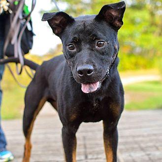 Shepherd (Unknown Type)/Rottweiler Mix Dog for adoption in Minneapolis, Minnesota - Cato
