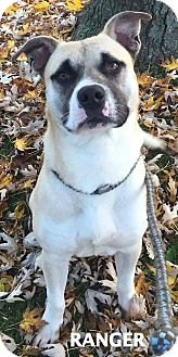 Husky/Pit Bull Terrier Mix Dog for adoption in Lapeer, Michigan - Ranger