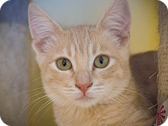 Domestic Shorthair Kitten for adoption in Los Angeles, California - Platano