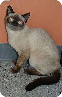 Siamese Cat for adoption in Michigan City, Indiana - Bianca