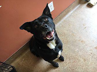 Labrador Retriever/Mixed Breed (Medium) Mix Dog for adoption in Downingtown, Pennsylvania - Bolt