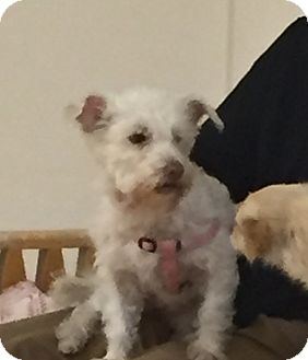 Terrier (Unknown Type, Small) Mix Dog for adoption in Valencia, California - Gidget